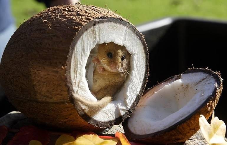 Рецепт: возьмите мышь, посадите её в кокосовый орех...