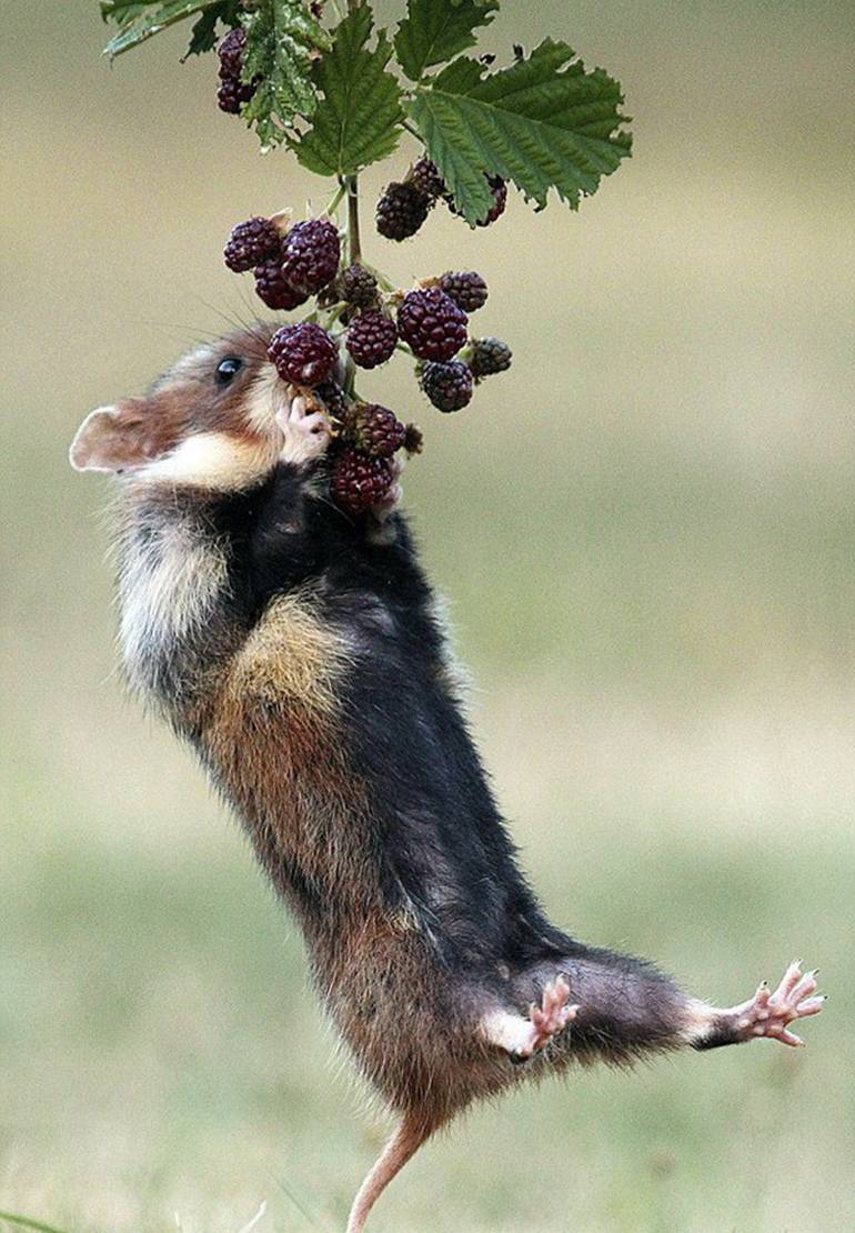 Хомяк ест ежевику