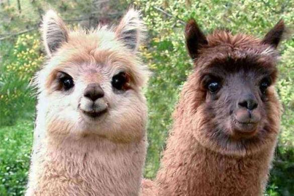 Эволюция и ламы