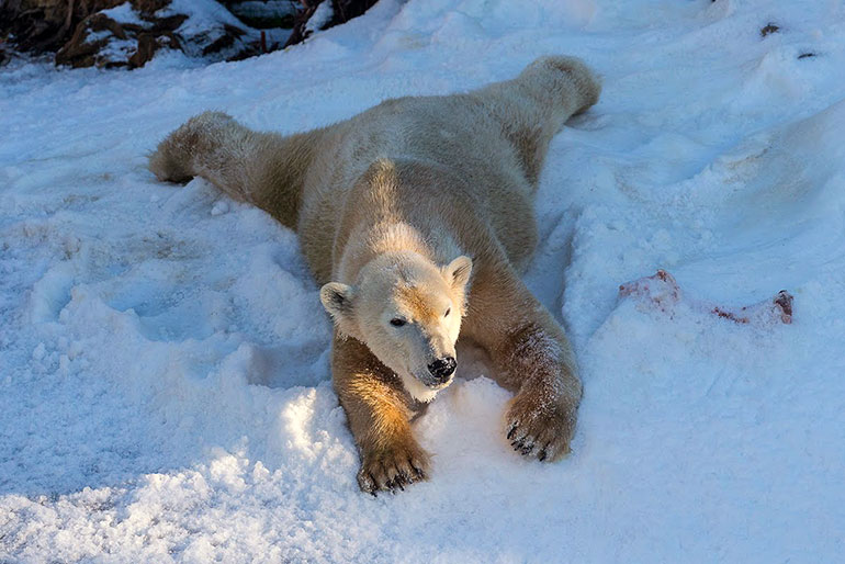 Белым медведям завезли снег
