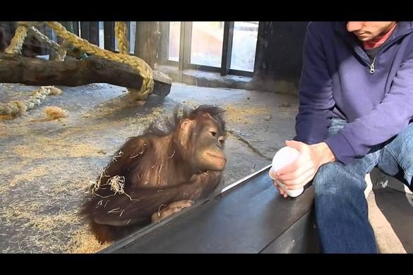 Парень показал фокус обезьяне, и ты не поверишь, что было дальше...