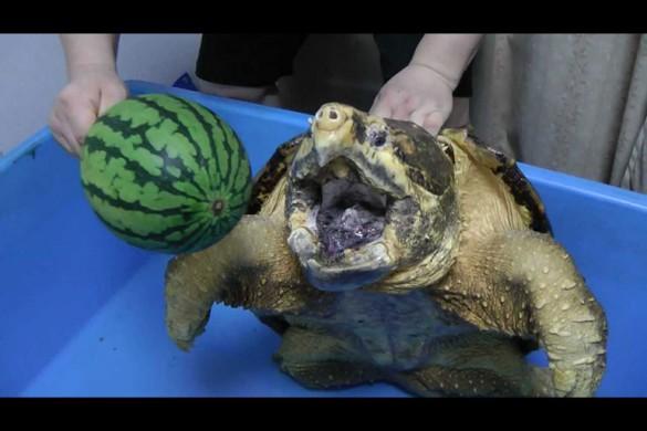 Он просто дал черепахе арбуз, и ты не поверишь, что было дальше…