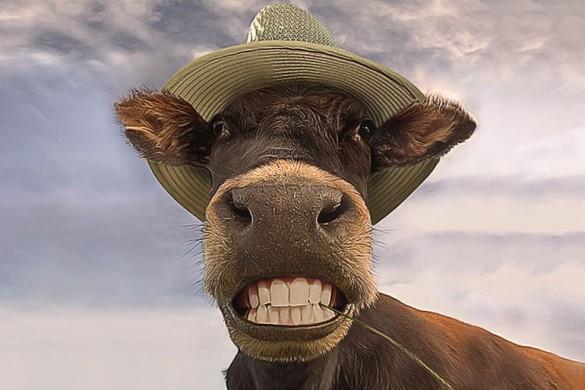 Коровы-убийцы