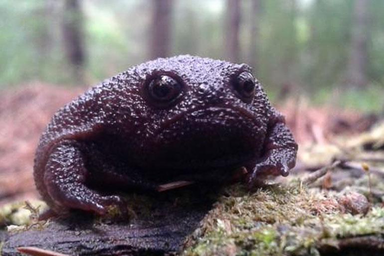 У африканской дождевой жабы нет поводов для радости